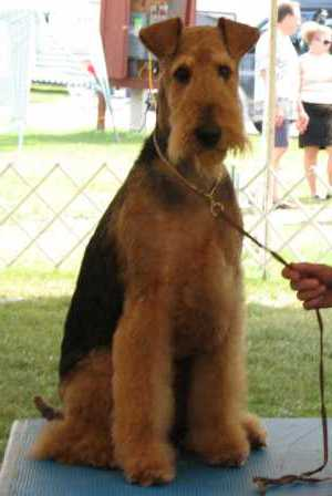 airedaleterrier aseo