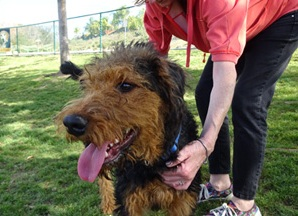 formacion airedale terrier