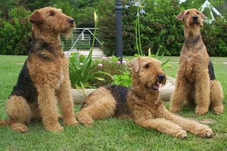 tres airedales